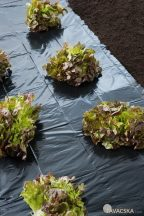 Fólia fekete színben salátához 1,40x10